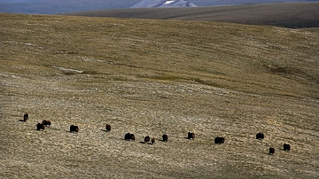 Muskox on the Tundra