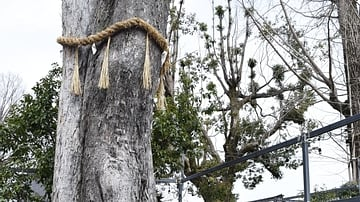 A Sacred Tree at the Agata Shrine in Uji, Japan