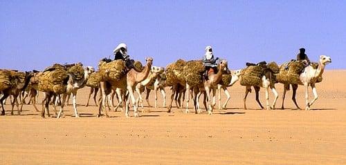 Trans-Saharan Camel Caravan
