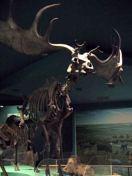 Megaloceros (Giant Elk) Skeleton