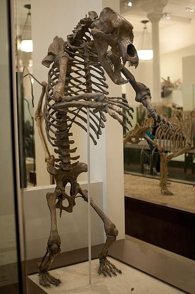 Cave Bear Skeleton