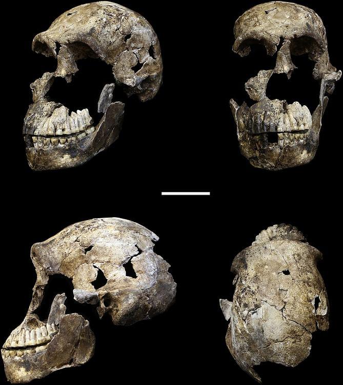 Homo Naledi Skull (John Hawks e.a. (2017))