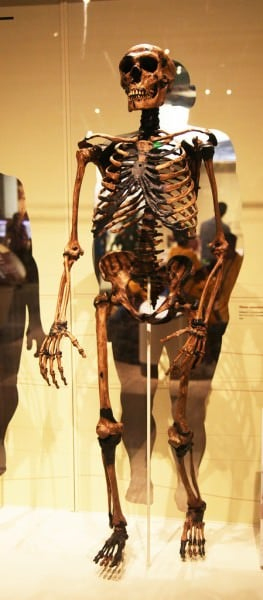 Neanderthal Adult Male Skeleton