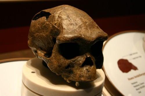 Cráneo de Homo Erectus lanzado desde Java, Indonesia