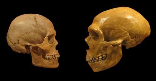 Homo Sapiens y Calaveras de Neanderthal