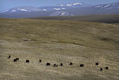 Muskox en la Tundra