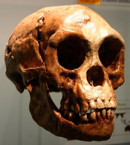 Cráneo Homo Floresiensis