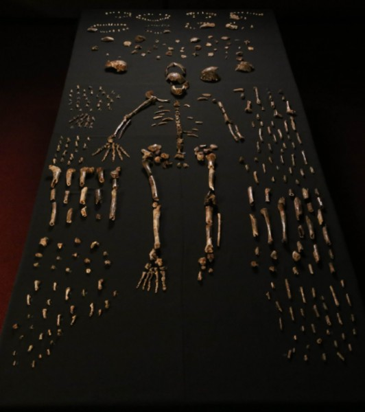 Homo Naledi Composite Skeleton